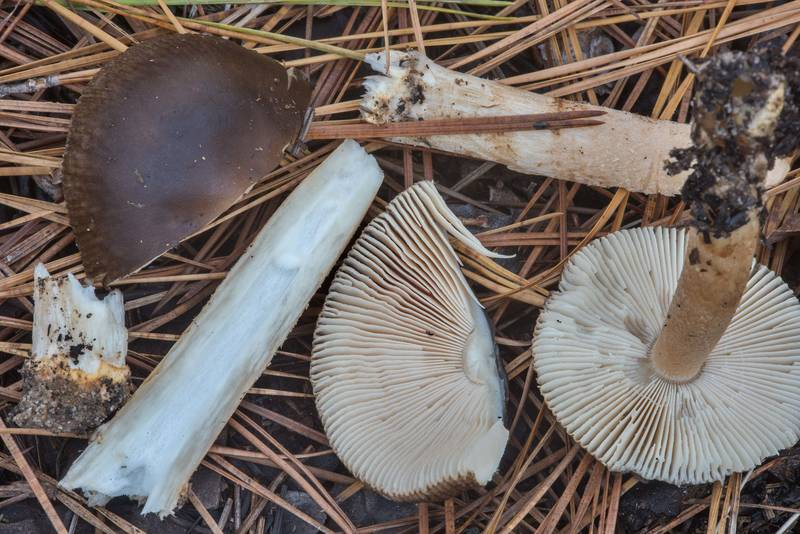 "Dissected Confectioner's Ringless Amanita mushrooms (<B>Amanita dulciarii</B>) in a pine forest in area of recent prescribed burns on Chinquapin Trail in Huntsville State Park. Texas, <A HREF=""../date-en/2018-11-21.htm"">November 21, 2018</A>"