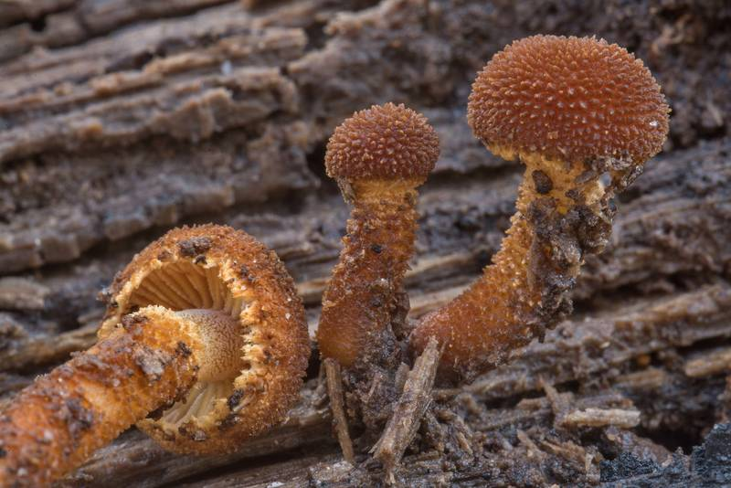 Close up of hedgehog scalycap mushrooms (Phaeomarasmius erinaceus) on a rotting pine log on Chinquapin Trail in Huntsville State Park. Texas, November 21, 2018