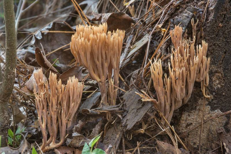 Coral mushrooms Ramaria on Chinquapin Trail in Huntsville State Park. Texas, November 21, 2018