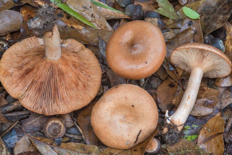 Milkcap (Lactarius) mushrooms under oaks in Lick Creek Park. College Station, Texas, November 22, 2018