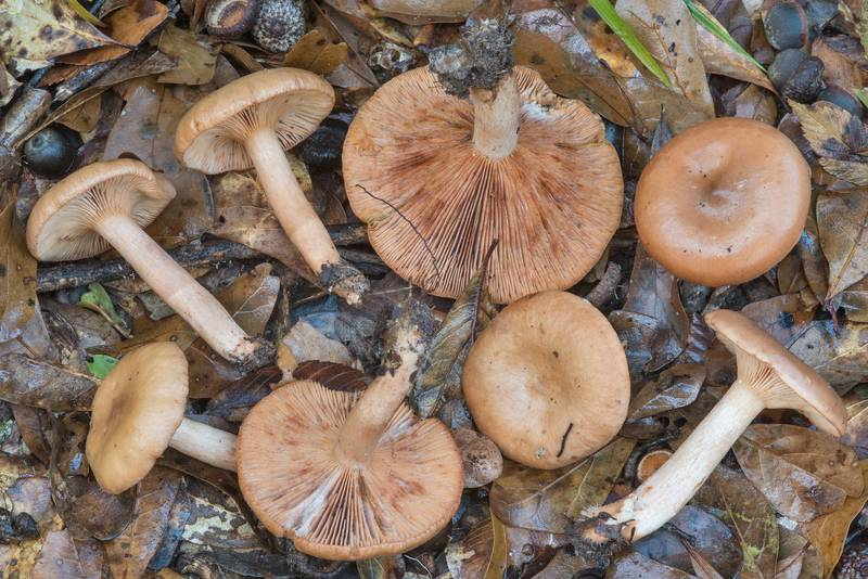 Group of milkcap (Lactarius) mushrooms under oaks in Lick Creek Park. College Station, Texas, November 22, 2018