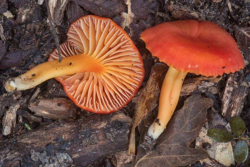 Red waxcap (Hygrocybe) mushrooms in Lick Creek Park. College Station, Texas, November 22, 2018