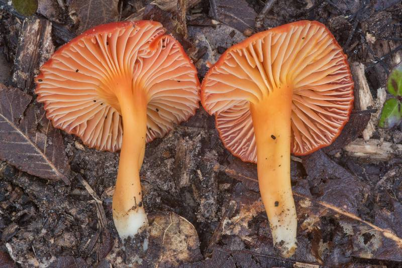 Gills of red waxcap (Hygrocybe) mushrooms in Lick Creek Park. College Station, Texas, November 22, 2018