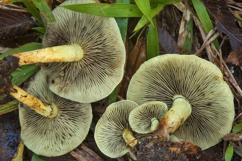 "Underside of sulphur tuft mushrooms (<B>Hypholoma fasciculare</B>) on Yaupon Loop Trail in Lick Creek Park. College Station, Texas, <A HREF=""../date-en/2018-11-22.htm"">November 22, 2018</A>"