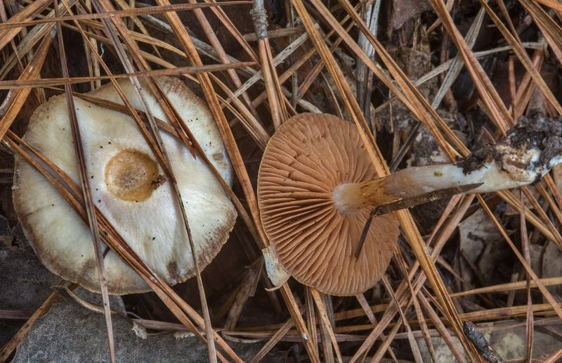 "Webcap mushrooms <B>Cortinarius iodes</B> in Big Creek Scenic Area of Sam Houston National Forest. Shepherd, Texas, <A HREF=""../date-en/2018-11-23.htm"">November 23, 2018</A>"
