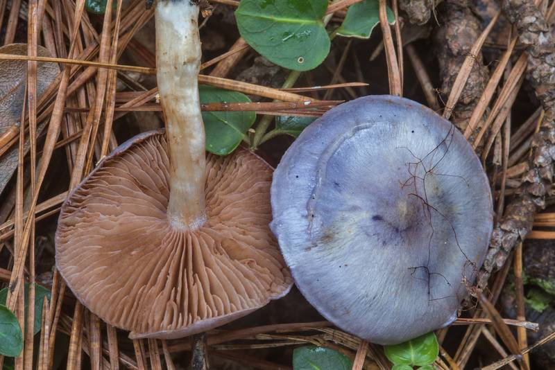 "Webcap mushrooms <B>Cortinarius iodes</B> with blue caps in Big Creek Scenic Area of Sam Houston National Forest. Shepherd, Texas, <A HREF=""../date-en/2018-11-23.htm"">November 23, 2018</A>"