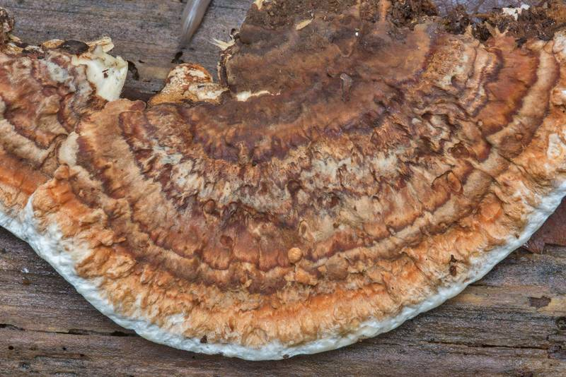 "Root rot fungus (polypore mushroom) <B>Heterobasidion annosum</B>(?) on a dry pine in Big Creek Scenic Area of Sam Houston National Forest. Shepherd, Texas, <A HREF=""../date-en/2018-11-23.htm"">November 23, 2018</A>"