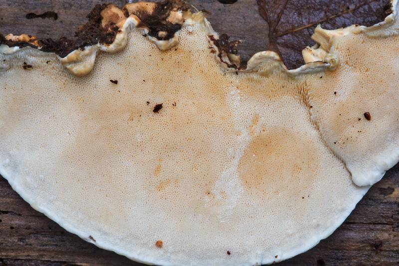 "Pores of a polypore mushroom <B>Heterobasidion annosum</B>(?) in Big Creek Scenic Area of Sam Houston National Forest. Shepherd, Texas, <A HREF=""../date-en/2018-11-23.htm"">November 23, 2018</A>"