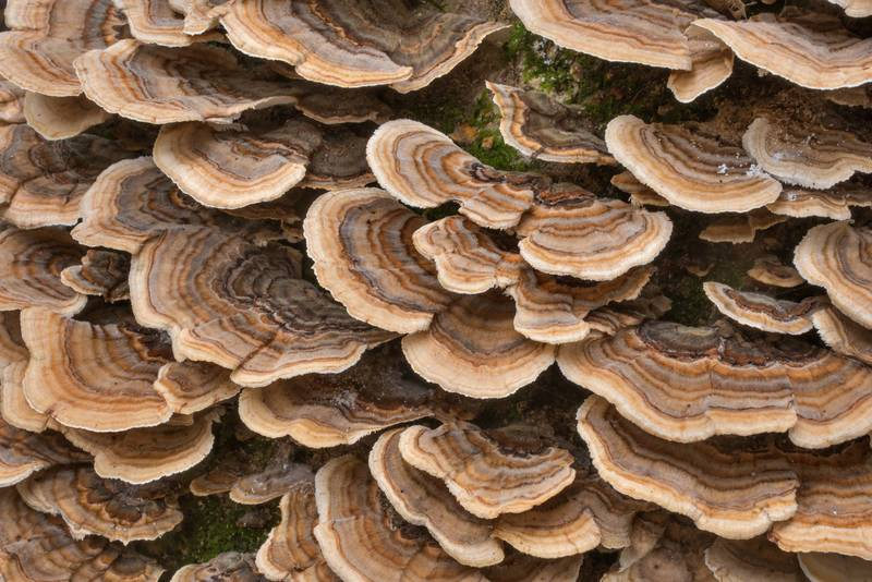 "Large number of turkeytail mushrooms (<B>Trametes versicolor</B>) on a fallen tree in Big Creek Scenic Area of Sam Houston National Forest. Shepherd, Texas, <A HREF=""../date-en/2018-11-23.htm"">November 23, 2018</A>"