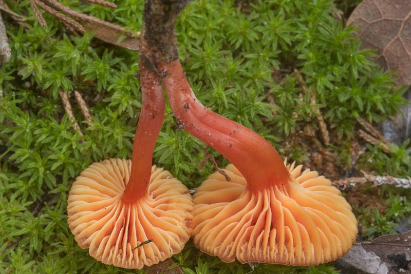 Gills of red waxcap (Hygrocybe) mushrooms under small oaks in Lake Bryan Park. Bryan, Texas, November 30, 2018