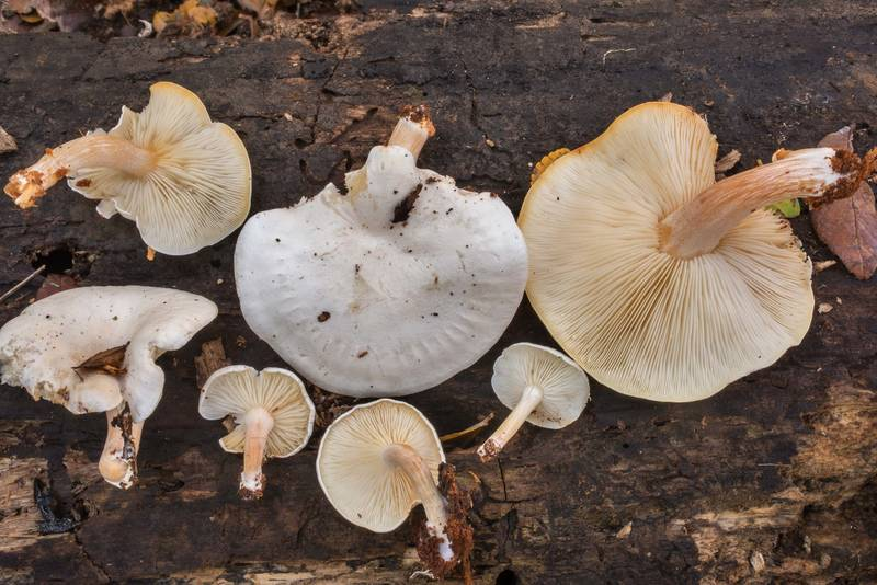 "Group of mushrooms <B>Ossicaulis lignatilis</B> taken from a cavity of a stump in Lick Creek Park. College Station, Texas, <A HREF=""../date-en/2018-12-04.htm"">December 4, 2018</A>"