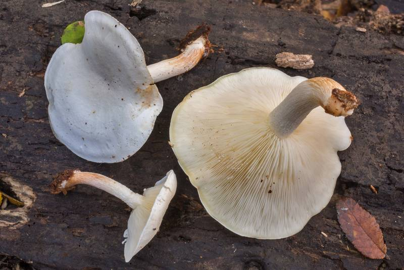 "Gills of mushrooms <B>Ossicaulis lignatilis</B> taken from a cavity of a cut tree trunk in Lick Creek Park. College Station, Texas, <A HREF=""../date-en/2018-12-04.htm"">December 4, 2018</A>"