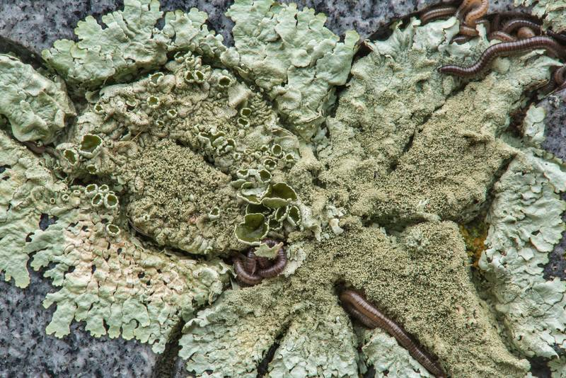 "Peppered rock-shield lichen (<B>Xanthoparmelia conspersa</B>) with millipeds on a granite tomb in City Cemetery. Bryan, Texas, <A HREF=""../date-en/2018-12-08.htm"">December 8, 2018</A>"