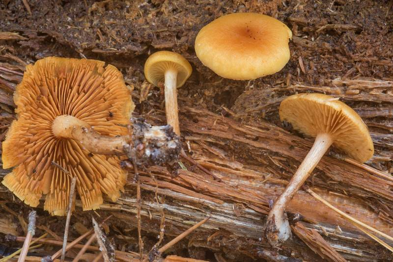 "Rustgill mushrooms <B>Gymnopilus penetrans</B> on Chinquapin Trail in Huntsville State Park. Texas, <A HREF=""../date-en/2018-12-15.htm"">December 15, 2018</A>"
