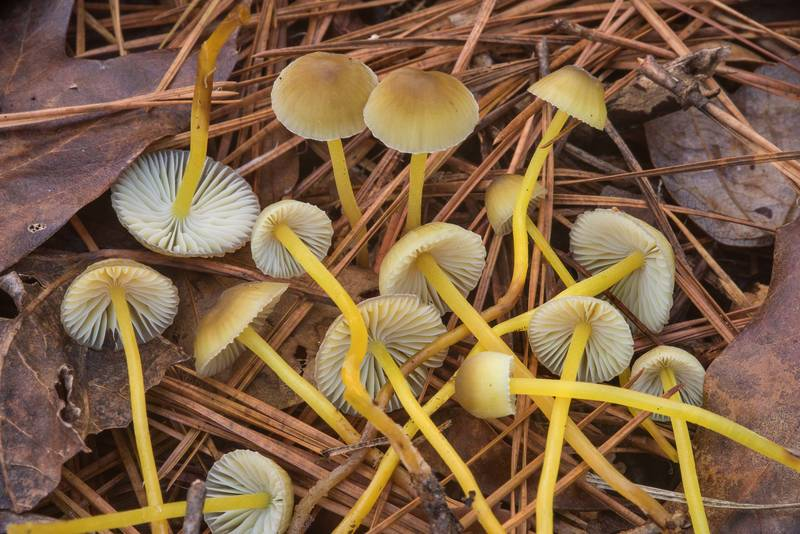 "Yellowleg bonnet mushrooms (<B>Mycena epipterygia</B>) among pine needles on Chinquapin Trail in Huntsville State Park. Texas, <A HREF=""../date-en/2018-12-15.htm"">December 15, 2018</A>"