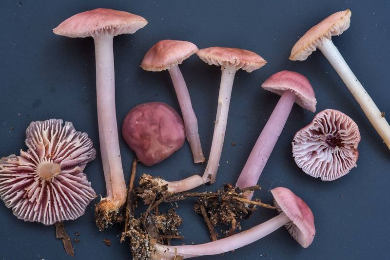 "Rosy bonnet mushrooms (<B>Mycena rosea</B>) on black background on Chinquapin Trail in Huntsville State Park. Texas, <A HREF=""../date-en/2018-12-15.htm"">December 15, 2018</A>"