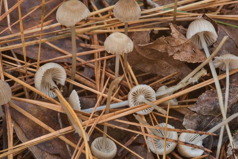 Bonnet mushrooms Mycena clavicularis among pine needles on Chinquapin Trail in Huntsville State Park. Texas, December 15, 2018