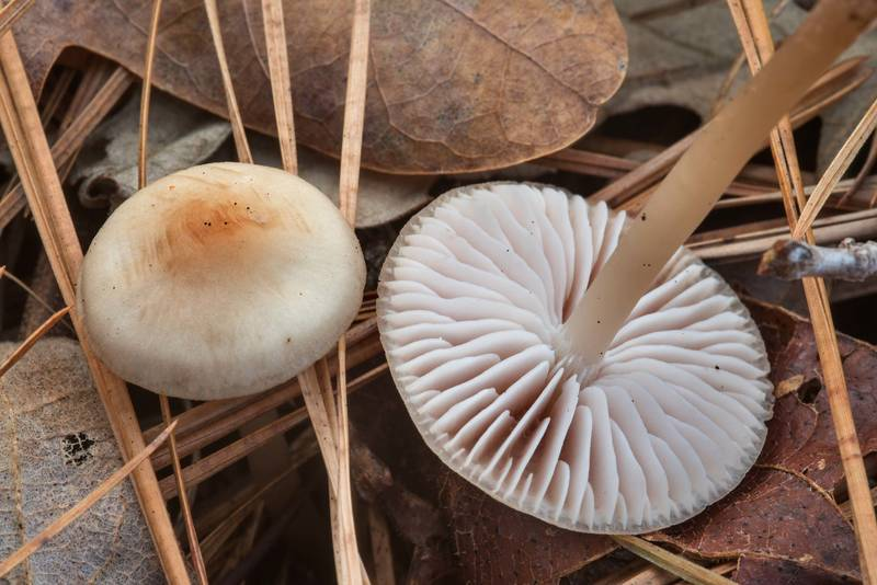 "Close up of lilac bonnet mushrooms (<B>Mycena pura</B>) on Caney Creek section of Lone Star Hiking Trail in Sam Houston National Forest near Huntsville. Texas, <A HREF=""../date-en/2018-12-16.htm"">December 16, 2018</A>"