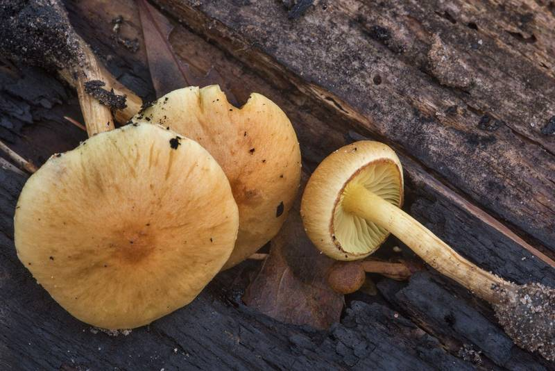 "Caps of common rustgill mushrooms (<B>Gymnopilus penetrans</B>) on Caney Creek section of Lone Star Hiking Trail in Sam Houston National Forest near Huntsville. Texas, <A HREF=""../date-en/2018-12-16.htm"">December 16, 2018</A>"