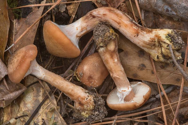 Side view of bulbous honey mushrooms (Armillaria gallica) on Caney Creek section of Lone Star Hiking Trail in Sam Houston National Forest near Huntsville. Texas, December 16, 2018