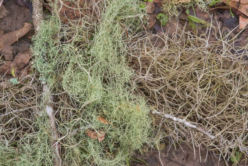 Bony beard lichen (Usnea trichodea) together with similarly looking Spanish moss (plant) Tillandsia usnoides in Lick Creek Park. College Station, Texas, December 18, 2018