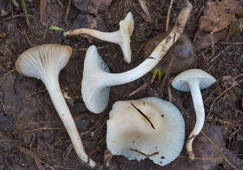 Hygrocybe angustifolia (Cuphophyllus angustifolius) mushrooms in Lick Creek Park. College Station, Texas, December 20, 2018
