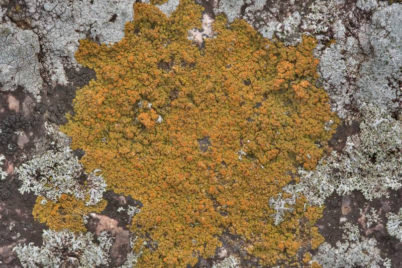 Firedot lichen Caloplaca on granite stone in Enchanted Rock State Natural Area. Fredericksburg, Texas, December 25, 2018