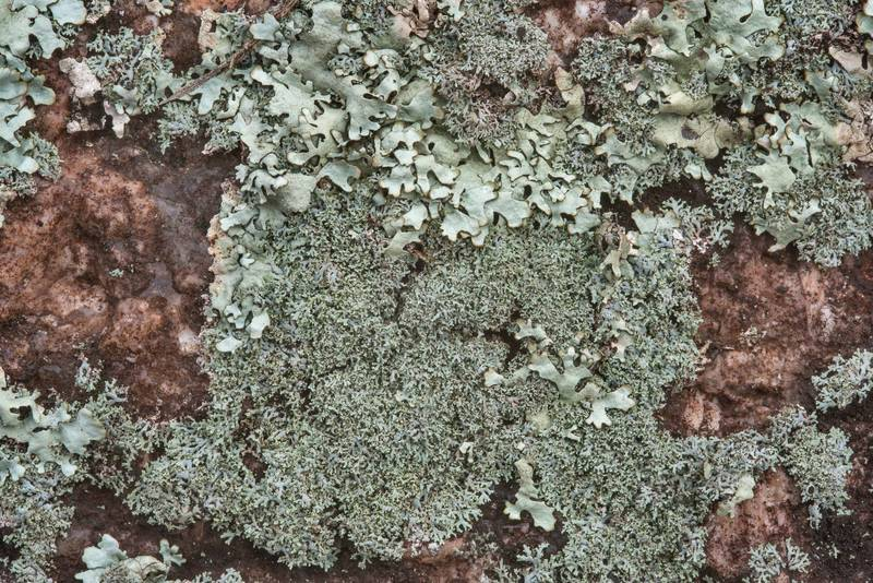 Slender rosette lichen (Physcia subtilis) on a granite surface in Enchanted Rock State Natural Area. Fredericksburg, Texas, December 25, 2018