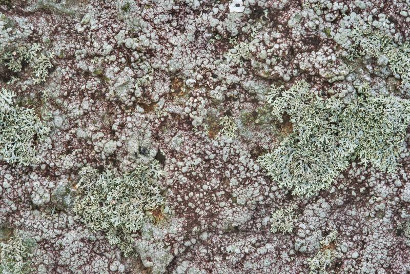 Lichens covering granite in Enchanted Rock State Natural Area. Fredericksburg, Texas, December 25, 2018