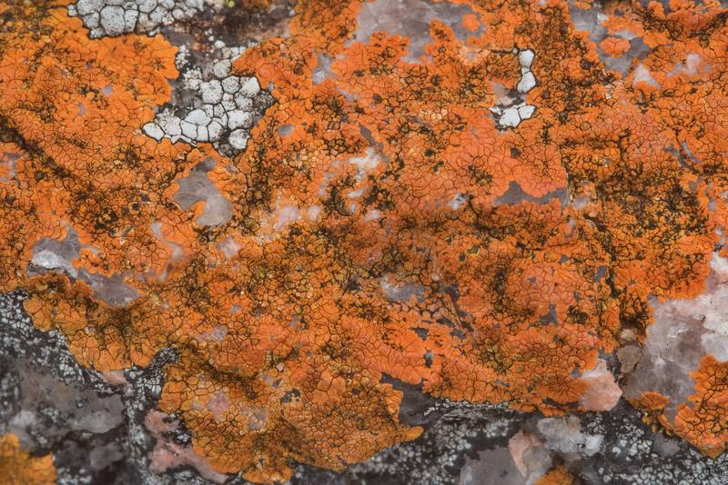 "Red firedot lichen <B>Caloplaca appressa</B>(?) on granite in Enchanted Rock State Natural Area. Fredericksburg, Texas, <A HREF=""../date-en/2018-12-25.htm"">December 25, 2018</A>"