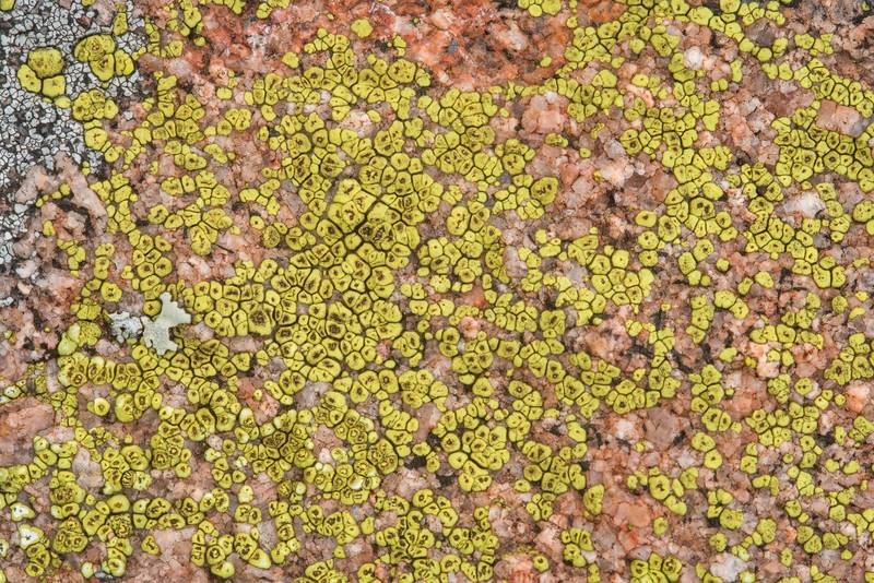 Cobblestone, or cracked lichen Acarospora (yellow, dispersed) on pink granite in Enchanted Rock State Natural Area. Fredericksburg, Texas, December 25, 2018