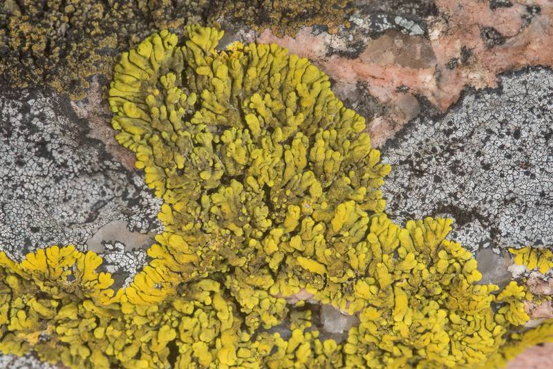 Mexican yolk lichen (Candelina submexicana) together with Aspicilia on a rock edge in Enchanted Rock State Natural Area. Fredericksburg, Texas, December 25, 2018