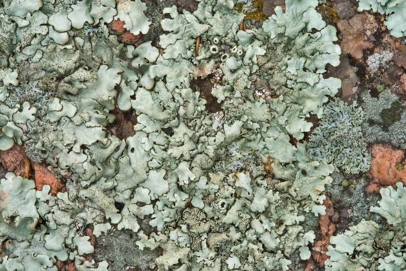Rock-shield lichen Xanthoparmelia in Enchanted Rock State Natural Area. Fredericksburg, Texas, December 25, 2018