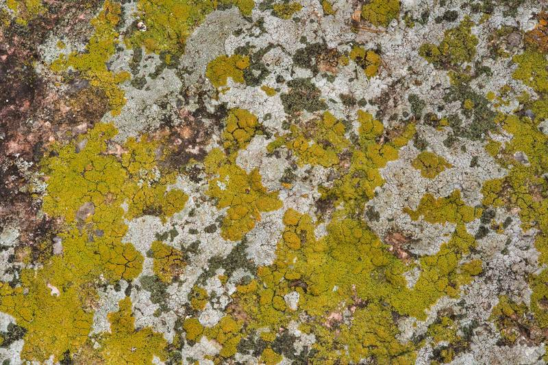 Isidious firedot lichen Fulgogasparrea brouardii (Caloplaca brouardii)(?) together with other crustose lichens in Enchanted Rock State Natural Area. Fredericksburg, Texas, December 25, 2018