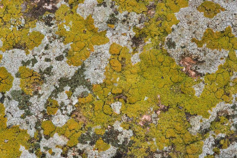 Isidious lichen Fulgogasparrea brouardii (Caloplaca brouardii)(?) on a granite stone in Enchanted Rock State Natural Area. Fredericksburg, Texas, December 25, 2018