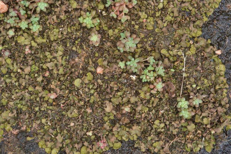"Leather lichen <B>Dermatocarpon luridum</B> and yellow stonecrop (Sedum nuttallianum) in a wet spot in Enchanted Rock State Natural Area. Fredericksburg, Texas, <A HREF=""../date-en/2018-12-25.htm"">December 25, 2018</A>"
