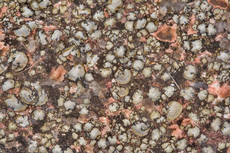 Dry leather lichen (Dermatocarpon) on a horizontal granite surface in shade in Enchanted Rock State Natural Area. Fredericksburg, Texas, December 25, 2018