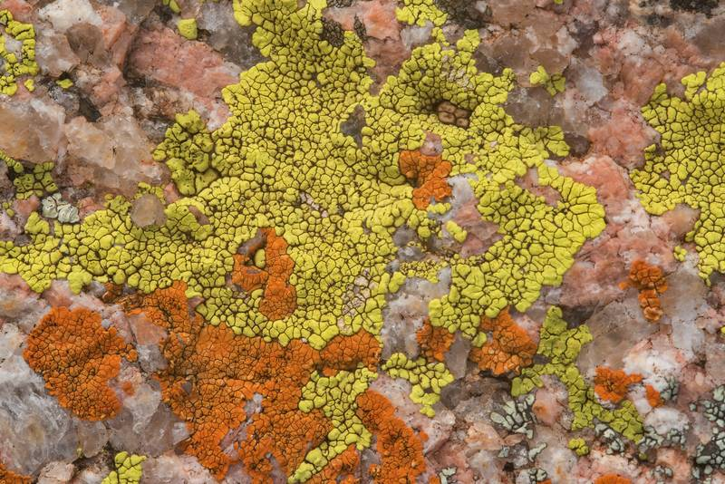 "Cracked lichen Acarospora novomexicana (yellow) and firedot lichen <B>Caloplaca appressa</B>(?) (red) on granite in Enchanted Rock State Natural Area. Fredericksburg, Texas, <A HREF=""../date-en/2018-12-25.htm"">December 25, 2018</A>"