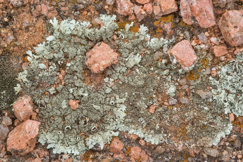 Rock-shield lichen (Xanthoparmelia) on cracked pink granite of Freshman Mountain in Enchanted Rock State Natural Area. Fredericksburg, Texas, December 25, 2018