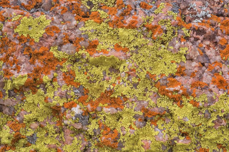 "Cracked lichen Acarospora novomexicana (yellow) and firedot lichen <B>Caloplaca appressa</B>(?) (red) on pink granite of Freshman Mountain in Enchanted Rock State Natural Area. Fredericksburg, Texas, <A HREF=""../date-en/2018-12-25.htm"">December 25, 2018</A>"