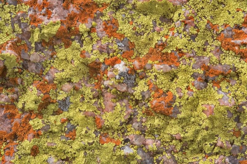 "Large granite stone covered by cracked lichen Acarospora novomexicana (yellow) and firedot lichen <B>Caloplaca appressa</B>(?) (red) on Freshman Mountain in Enchanted Rock State Natural Area. Fredericksburg, Texas, <A HREF=""../date-en/2018-12-25.htm"">December 25, 2018</A>"