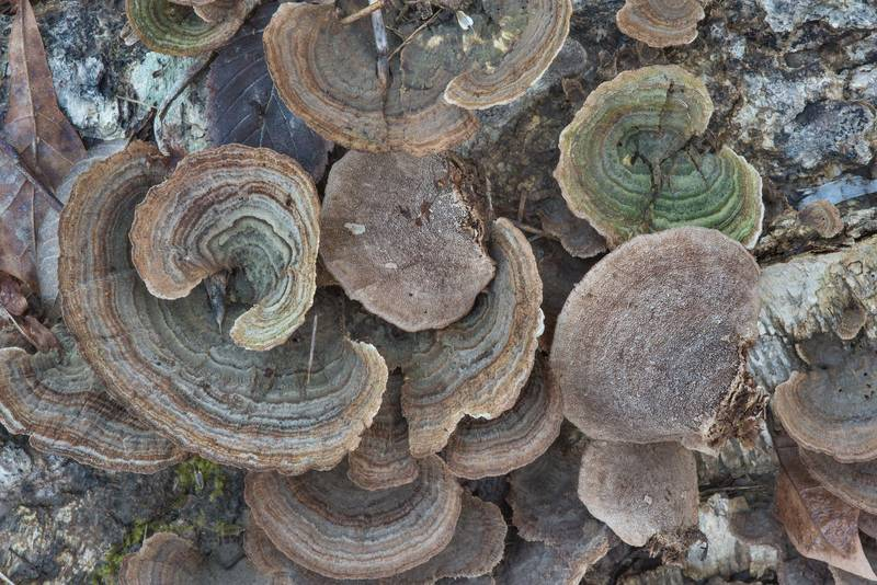 "Polypore bracket mushrooms <B>Trichaptum sector</B> on a fallen river birch in Lick Creek Park. College Station, Texas, <A HREF=""../date-en/2018-12-28.htm"">December 28, 2018</A>"