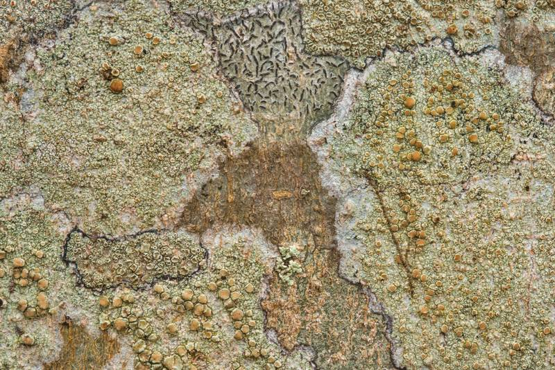 Mixed crustose lichens on bark of a hackberry tree in Washington-on-the-Brazos State Historic Site. Washington, Texas, December 29, 2018