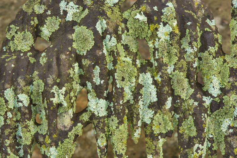 Various green and grey lichens on a massive cast iron fence in Odd Fellow Cemetery. Anderson, Texas, December 31, 2018