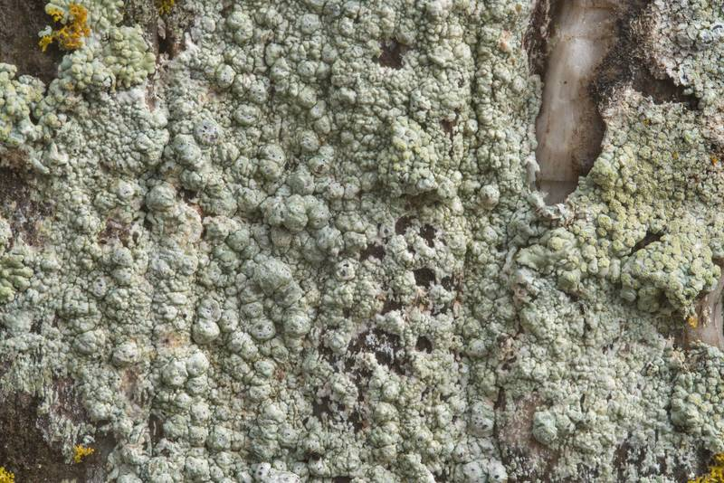 Warty lichen (Pertusaria) on a petrified wood tomstone in Odd Fellow Cemetery. Anderson, Texas, December 31, 2018