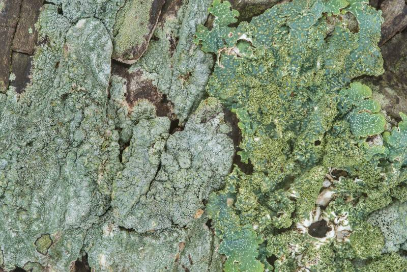 "Powdered speckled shield lichen <B>Punctelia missouriensis</B> or may be P. rudecta on a tree in Odd Fellow Cemetery. Anderson, Texas, <A HREF=""../date-en/2018-12-31.htm"">December 31, 2018</A>"