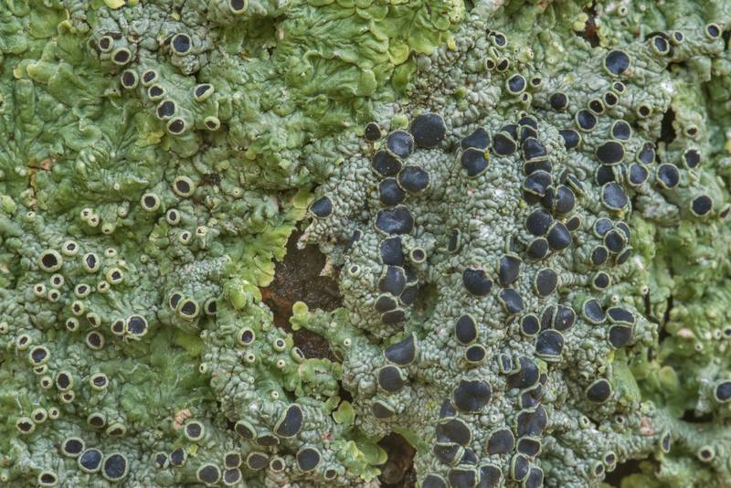 "Medallion lichen (<B>Dirinaria confusa</B>) on a tree in Odd Fellow Cemetery. Anderson, Texas, <A HREF=""../date-en/2018-12-31.htm"">December 31, 2018</A>"
