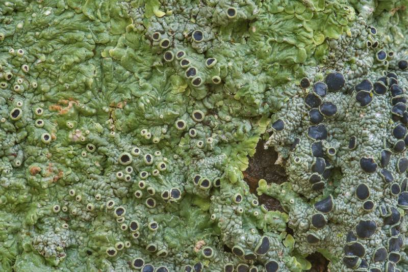 "Close up of medallion lichen (<B>Dirinaria confusa</B>) on a tree in Odd Fellow Cemetery. Anderson, Texas, <A HREF=""../date-en/2018-12-31.htm"">December 31, 2018</A>"