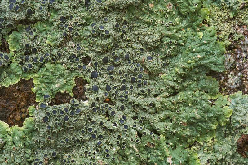 "Medallion lichen (<B>Dirinaria confusa</B>) near the base of a hackberry(?) tree in Odd Fellow Cemetery. Anderson, Texas, <A HREF=""../date-en/2018-12-31.htm"">December 31, 2018</A>"