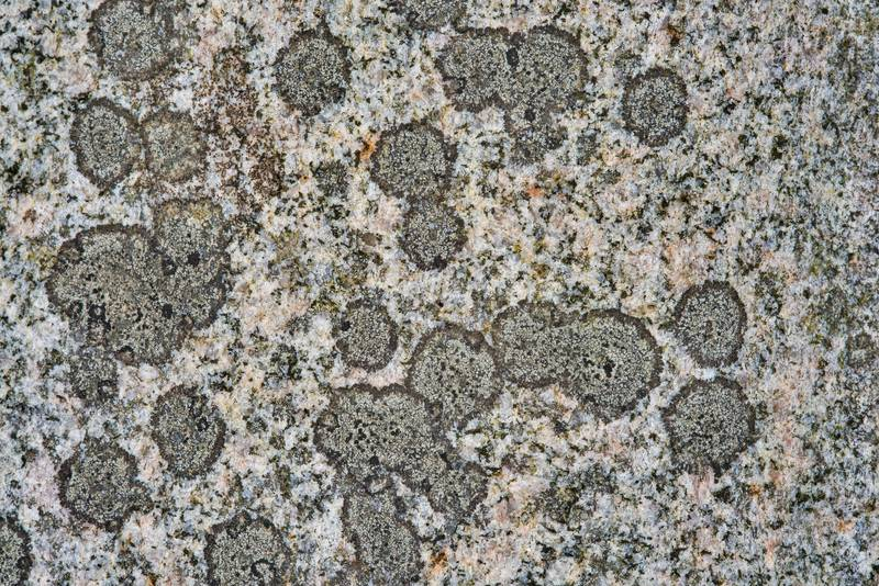 Button lichen (Buellia) on a polished granite surface of Bible on a tomb in Odd Fellow Cemetery. Anderson, Texas, December 31, 2018